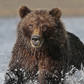Gone Fishing by Anthony Goldman - Animals Other Mammals ( bear, grizzly, water, wild, splash, alaska, wildlife, predator, alaskan brown, action, lake clark, power, fishing )