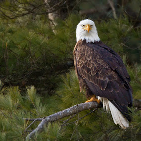 Wild Eagle by Herb Houghton - Animals Birds ( wild, bird of prey, eagle, bald eagle, herbhoughton.com, raptor, natural )