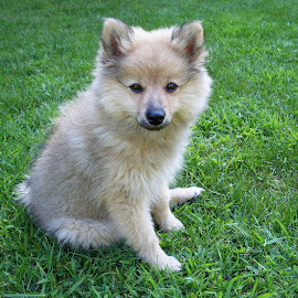 Puszedli by Norbert J. - Animals - Dogs Puppies ( spitz, cute )