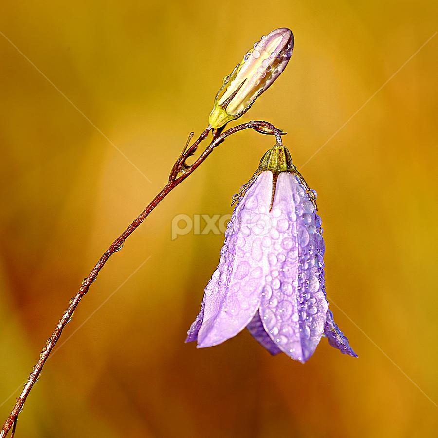 Clochette by Gérard CHATENET - Flowers Single Flower