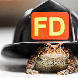 Fire Toad by Tony Bendele - Animals Amphibians ( firefighter, animals, wildlife, toad, toads, helmet, fire helmet, fire, animal )