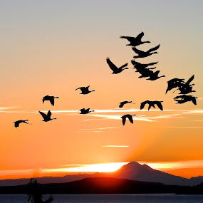 Canada Geese over Mt. Baker at sunrise by Campbell McCubbin - Landscapes Sunsets & Sunrises ( mt. baker, sunrise, canada geese, geese, birds, flock,  )