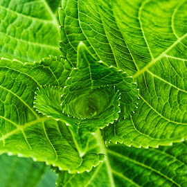 Hydrangea Leaves by Svemir Brkic - Nature Up Close Leaves & Grasses ( macro, green, leaves, plant, hydrangea,  )