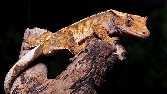 Crested Gecko. Live wallpapers - screenshot