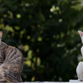 The Couple by Naveen Joyous - Animals - Cats Portraits ( cat, pet, white, couple, portrait,  )