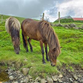 by Oddsteinn Björnsson - Animals Horses ( iceland, horses, nikon )
