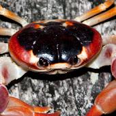 Crab Puzzle APK for Bluestacks