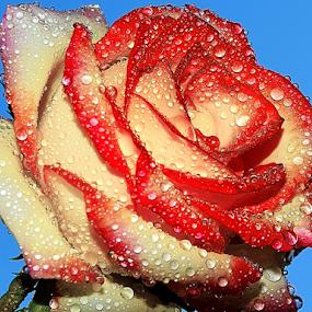beautiful rose by LADOCKi Elvira - Flowers Single Flower ( flowers,  )
