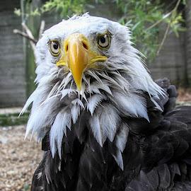 You looking at me? by Garry Chisholm - Animals Birds ( bird, garry chisholm, nature, bald eagle, wildlife, prey, raptor )