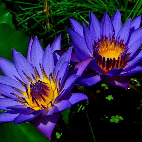 Beauty nature!!! by Prasant Kumar - Nature Up Close Flowers - 2011-2013 ( water, macro, lily, nature, color, flora, blue, flower )