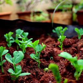 Pea Saplings by Lakshmi Sharoff - Nature Up Close Gardens & Produce ( macro, nature, seedling, garden, peas )