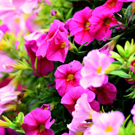 Pinks by Ruth Overmyer - Flowers Flower Gardens (  )