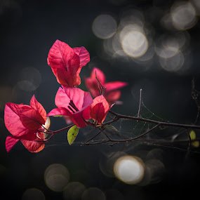 Sunlit Flowers by Minhajul Haque - Flowers Flowers in the Wild ( flourishing, bright, hue, splashy, vibrant, glow, bokeh, attraction, close, colour, love, foliage, dark, maroon, lovely, pink, leafy, flowers, darkness, flower, carmine, chromatic, tint, quiet, iridescence, category, miscellaneous, crimson, efflorescence, qualities, silence, floret, floral, florid, colorful, vivid, imagination, blossom, multicolored, cerise, fantasy, fresh, nocturnal, nighttime, flashy, closeup, tone, flora, twinkling, adorned, lush, rich, green, beautiful, verdant, romantic, inflorescence, bloom, close up, close-up, flush, red, color, grassy, coloring, hued, night, luminosity )
