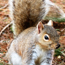 Chippy by Paul S. DeGarmo - Animals Other ( cute, squirrel, close, eye, animal )