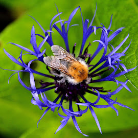 Busy bee by Heather Aplin - Animals Insects & Spiders ( pollen, purple, bee )