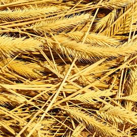 Golden Grass by Rita Goebert - Nature Up Close Leaves & Grasses ( south dakota; golden color; plumed grass; dried; toasted; june; )