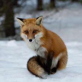 Red Fox by D Marwood - Animals Other Mammals ( student photographer, provincial park, algonquin provincial park, fox, canada, female, wildlife, female fox, ontario, algonquin park, natural habitat, female red fox, red fox )