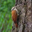Arapaçu-de-cerrado(Narrow-billed Woodcreeper)