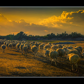 Sheeps by Nicholas  Vo - Animals Other ( sheep, lamb )