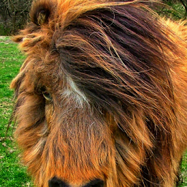 Nikki Eating Her Lunch on a Windy Day by Julie Dant - Animals Horses ( horses mane, miniature horse, wind, shaggy horses, horse, blowing mane, windy day, winter coats,  )
