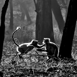 Monkey Brawl by Pravine Chester - Black & White Animals ( monkey, monochrome, black and white, animals, langur, wildlife )