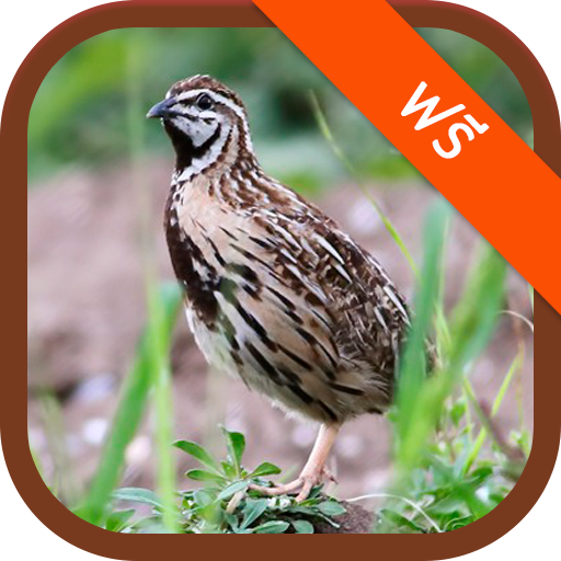 Rain Quail Sounds (app)