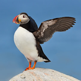 Puffin  by Will Zook - Animals Birds