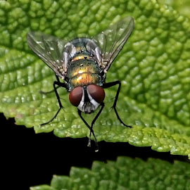 The Fly by Judy Laliberte - Novices Only Macro ( macro, fly, green, gold, leaf, black )