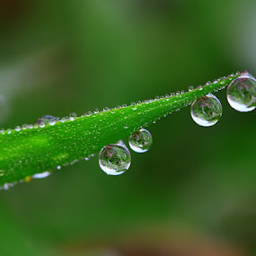 Four dews by Diens Silver - Nature Up Close Flowers - 2011-2013 ( macro, nature, waterdrop, dew )