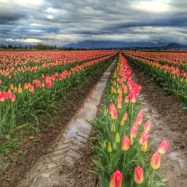 Storm over tulip field by Gabi Fulcher - Landscapes Prairies, Meadows & Fields ( tulip, weather, valley, flowers, storm, spring, skag )