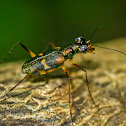 Tree Tiger Beetle