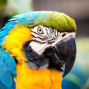 The Beak by Kain Dear - Animals Birds ( bird, colourful, bill, blue, green, parrot, beak, colurful, yellow, feathers, eye )