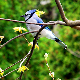Blue Jay on Leafing Maple Tree by Jane Spencer - Animals Birds ( tree, leafing, blue jay, spring, maple )
