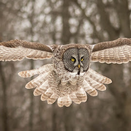 by Jocelyn Rastel-Lafond - Animals Birds ( montreal, quebec, canada, great gray owl, owl, oiseaux, hibou )