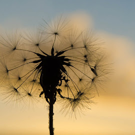 Silhouette dandelion at sunset by Cindy Bester - Nature Up Close Other plants ( dandelion, sunset, silhouette, nature up close, garden )