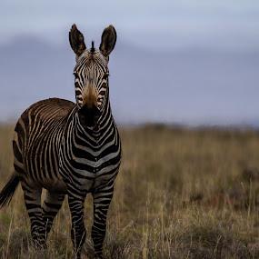 Striped donkey  by Johann Bekker - Novices Only Wildlife