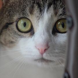 Those Eyes by Lisa Newberry - Animals - Cats Portraits ( cat, feline, portrait, animal, eyes,  )