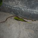 Banded Kukri Snake