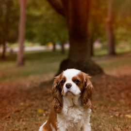 Autumn In The Park by Bevlea Ross - Animals - Dogs Portraits ( autumn, furry, puppy, leaves, cute, dog )