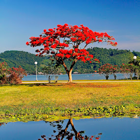Reflection by Ryan Dominguez - Backgrounds Nature ( reflection, parks, fire tree, symmetry, red tree,  )