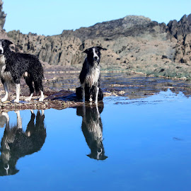Double Trouble by Gareth Evans - Animals - Dogs Playing ( reflection, blue, cornwall, water, border collie )