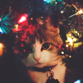 Christmas cat by Stephanie Halley - Animals - Cats Portraits ( cat lights )