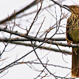 brown thrasher by Rita Flohr - Novices Only Wildlife ( bird, brown thrasher, tree, nature )