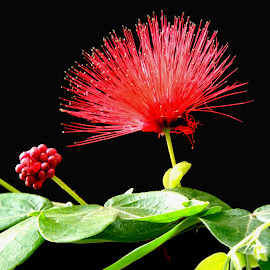 Red delight by SANGEETA MENA  - Flowers Flowers in the Wild (  )