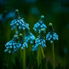 Grape Hyacinth by Lynn Wiezycki - Nature Up Close Flowers - 2011-2013