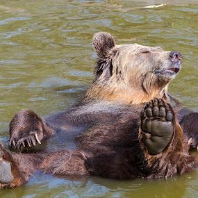 by Lajos E - Animals Other Mammals ( arctos, water, ursid, bear, hedonism, predator, carnivore, european, pool, comfort, bath, supine, pleasure, enjoy,  )