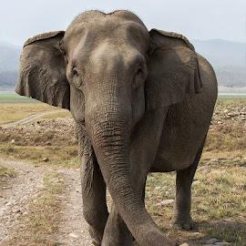 Asian Elephant by Jineesh Mallishery - Animals Other Mammals ( corbett, asian elephant, wildlife, jineesh, india, corbett national park, animal, wildlife action photography )