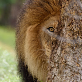 Watch Your Back! by William Sawtell - Animals Lions, Tigers & Big Cats ( cats, king of the jungle, the king, wildlife, male lion )