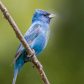 Pretty Shade of Blue by Sue Matsunaga - Animals Birds