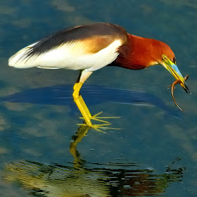 Adjusted pond heron with lizard noise reduction.jpg